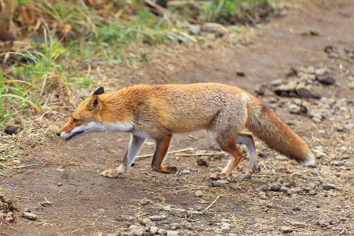 仙石原のススキにいる狐