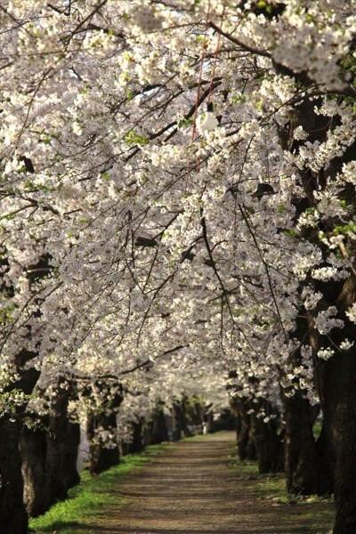 角館 桧木内川堤の桜