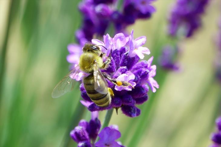 幌見峠ラベンダー園のハチ
