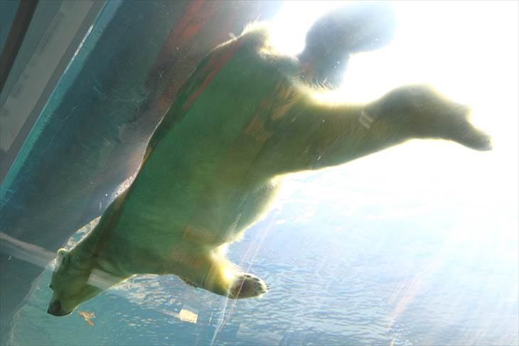 円山動物園 泳ぐホッキョクグマ