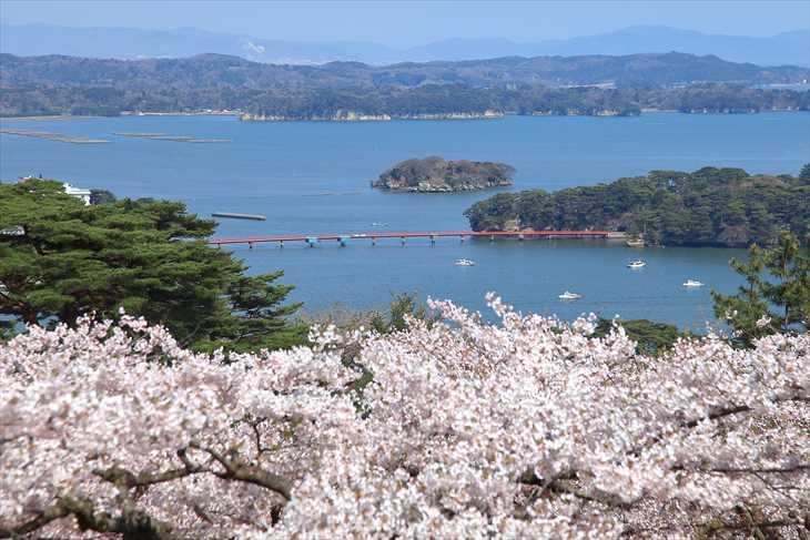 西行戻しの松公園から見る松島と桜