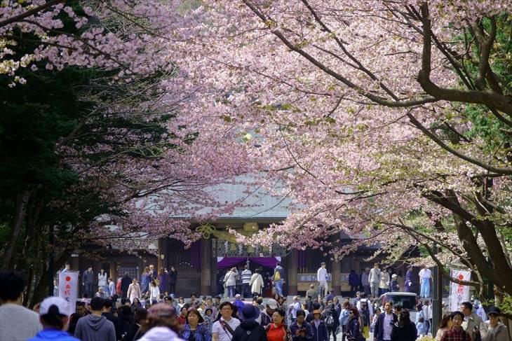 桜と北海道神宮の参道