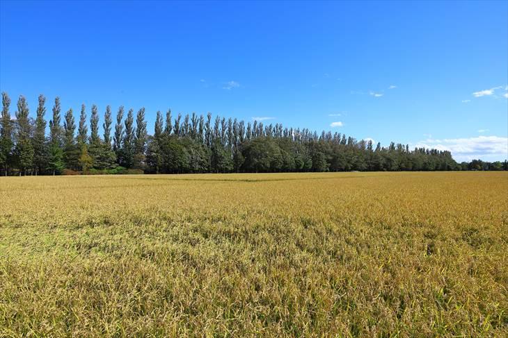 篠路の防風林と秋の田園風景