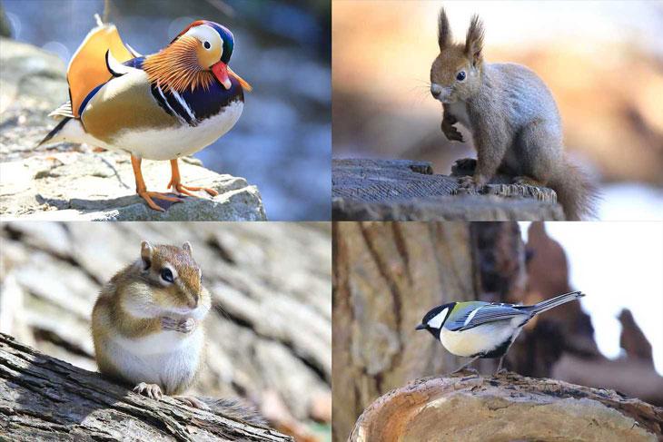 早春の円山公園でオシドリやエゾリス、エゾシマリス、カラ類の写真を撮ってきた
