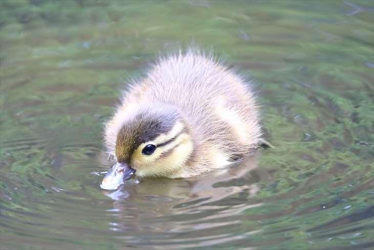 円山公園のオシドリの雛