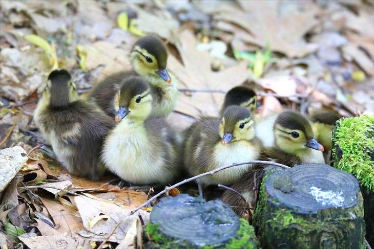 オシドリの雛は集団化するとよりモフモフする