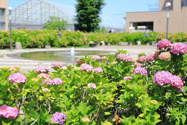 春日緑地の紫陽花