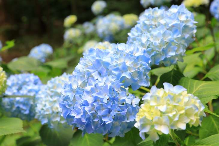 円山公園の紫陽花