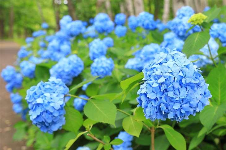 豊平公園の紫陽花