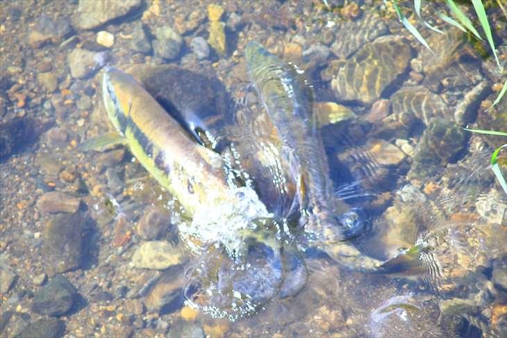 小樽の川に遡上してきた鮭